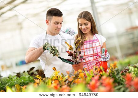 Couple of gardeners planting and taking care of Croton plant in greenhouse