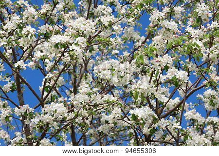 Flowers Of An Apple-tree Blossom In The Spring