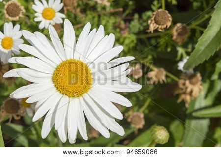Big Daisy Flower In A Garden