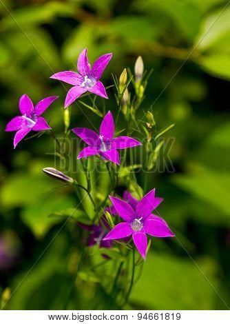 Campanula Patula Flowers