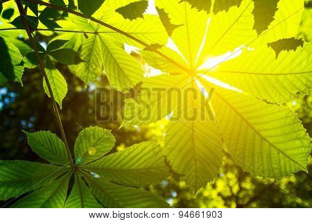 Leaves Of A Chestnut And The Sun