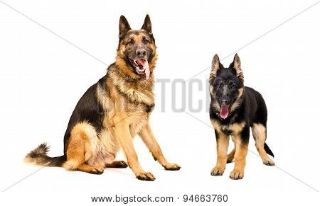 Dog and puppy German Shepherd together