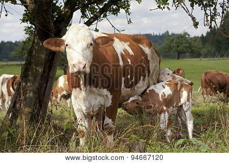 cow with calf on meadow