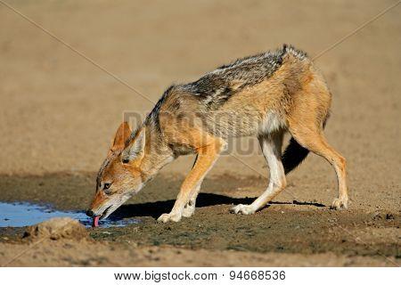 A black-backed jackal (Canis mesomelas) drinking water, Kalahari desert, South Africa