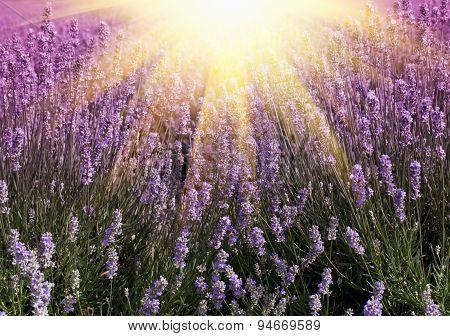Sun Light Over A Summer Lavender