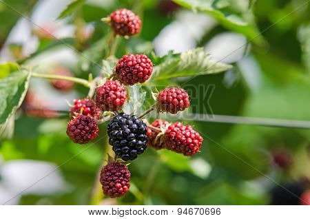 Blackberry plant with berries