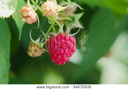 close-up of the ripe raspberry