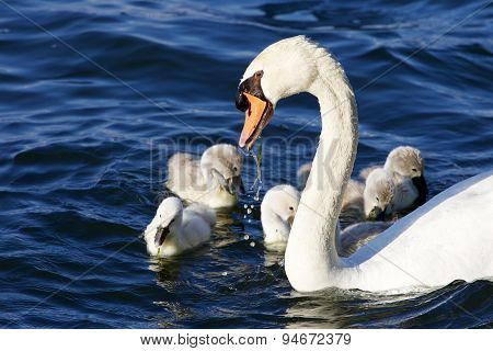 The Father-swan Helps Her Chicks To Get The Algae From The Lake