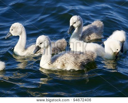 Five Young Mute Swans Are Swimming