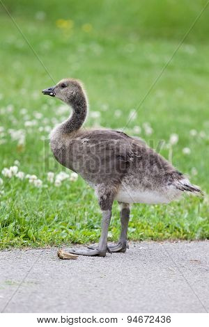 Young Cackling Goose Is Staying On The Road