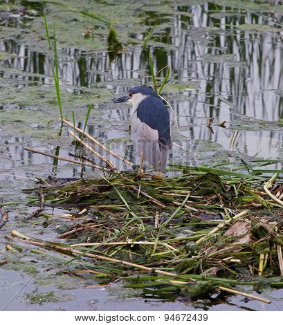 Black-crowned Night Heron Is Searching For The Food