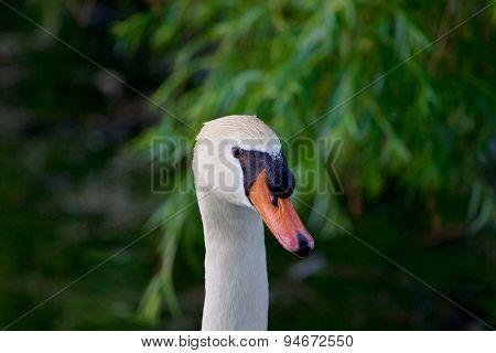 The Strong Male Mute Swan