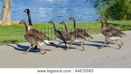 The Young Cackling Geese Are Running Across The Road