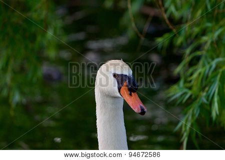 The Mute Swans Close-up On The Background Of The Leaves