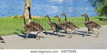 The Young Cackling Geese Are Running Fast To The Water