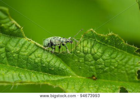 Weevil on leaf