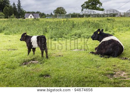 Belted Galloway Mum And Calf Farm Background