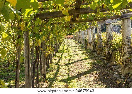 Vineyards in Valle d'Aosta, Italy