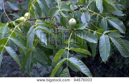 maturing walnut