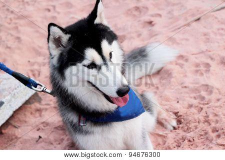 Siberian Husky Dog Sitting On The Beach