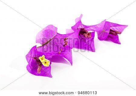 Four Delicate Mauve Bougainvillea Flowers On White Background