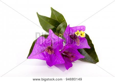 Sprig Of Mauve Bougainvillea Flowers And Green Leaves