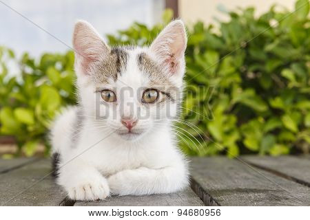 Portrait Of A White Kitten Posing For The Camera