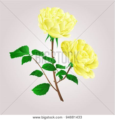Twig Yellow Roses Vector
