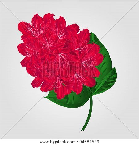 Twig Red Rhododendron  Vector