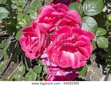 Beautiful Flower Of Rose