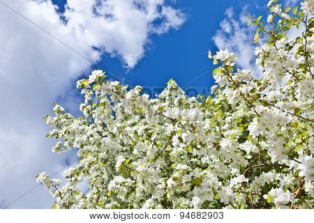 Branches Of Flowering Apple Tree