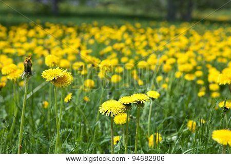 Dandelion Flowers