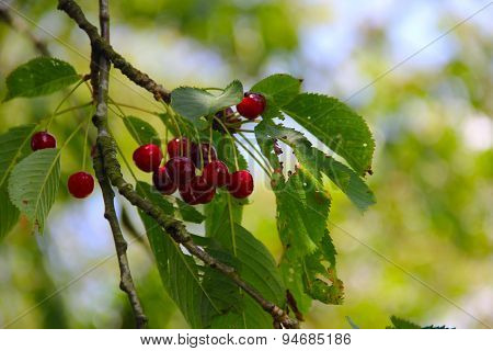 Wild Ripe Cherry On Tree