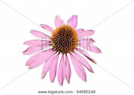 Large Flower Pink