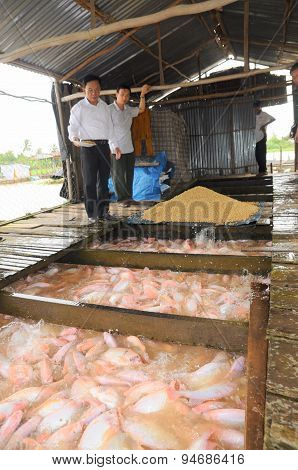 Dong Thap, Vietnam - August 31, 2012: Farming Of Red Tilapia In Cage On River In The Mekong Delta Of