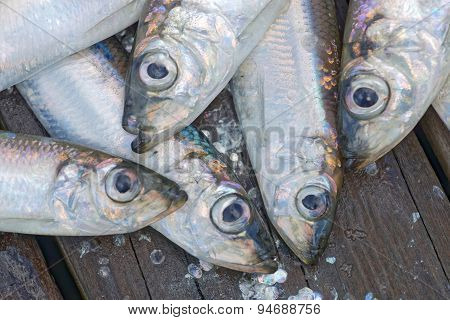 Heads Of A Group Of Baltic Herring
