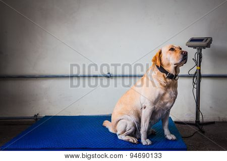 Labrador Retriever Customs Dog