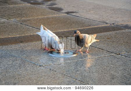 Two Pigeons Drinking Water.