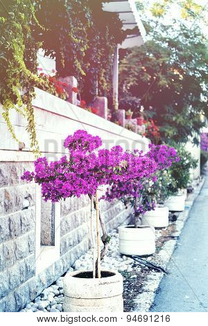 Bougainvillaea near with stone wall