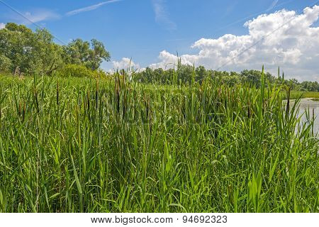 Reed along a lake in summer