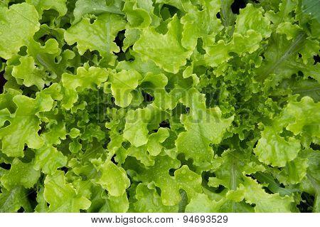 Fresh organic lettuce high angle view