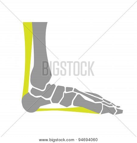 Flat Icon of Foot Bones on White Background