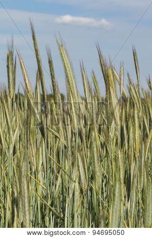 wheat field - farming landscape