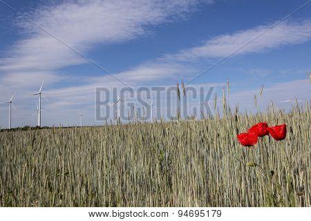 poppy flowers in wheat field, summer