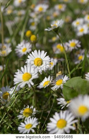 daisy flowers in meadow - daisies