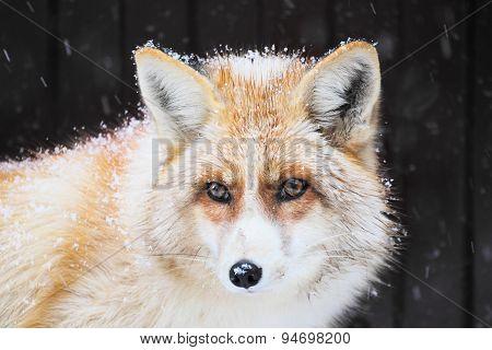 Portrait of a golden fox, Vulpes vulpes
