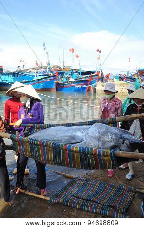 Phu Yen, Vietnam - February 28, 2012: Local Fishermen Are Transporting Tuna Fish From Their Vessels