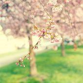 stock photo of sakura  - flowers sakura cherry blossoms in the spring of fog - JPG