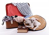 foto of dog clothes  - Adorable chihuahua dogs and suitcase with clothing isolated on white - JPG