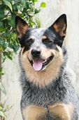stock photo of cattle dog  - a blue australian cattle dog blue heeler red heeler sitting on command and stay - JPG